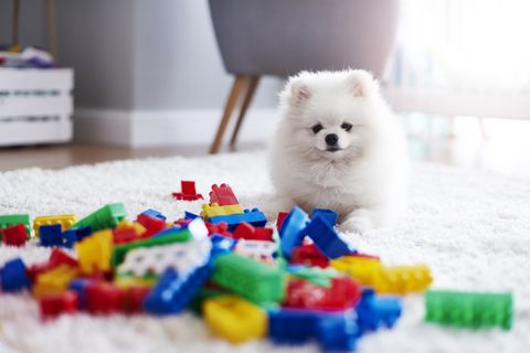 portrait of white puppy on carpet with toy bricks