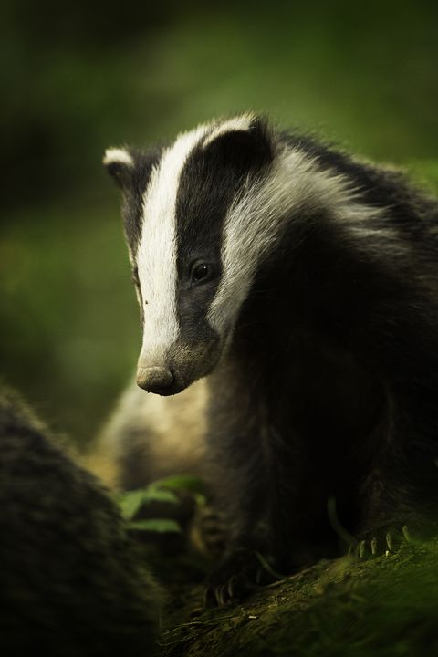 British Wildlife Competition - badger outside