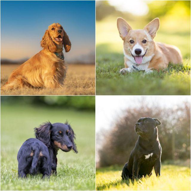 posh dog breeds revealed