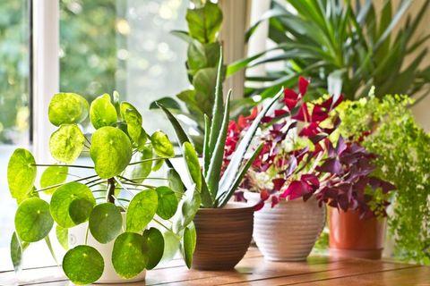 空気 を きれいに する 観葉 植物