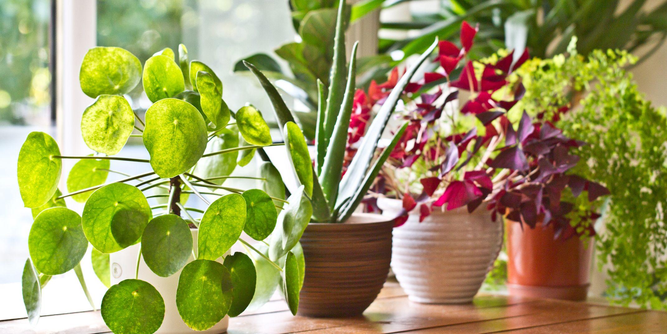 Big Pots Indoor Plants: Easy To Care For Indoor Plants