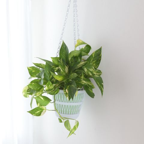 pothos   indoor hanging plant