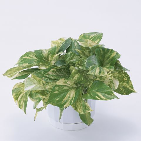 planta de potos