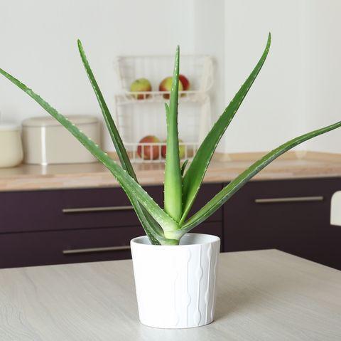 aloe vera kitchen plant