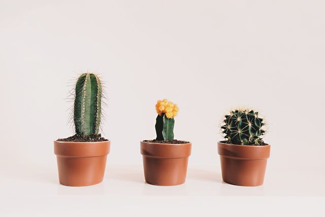 potted cactus against white background