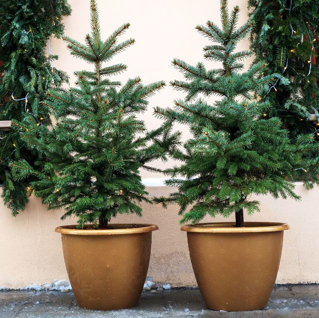 Whole Foods Small Christmas Trees 2021 Caring For A Potted Christmas Tree Pot Grown Christmas Trees