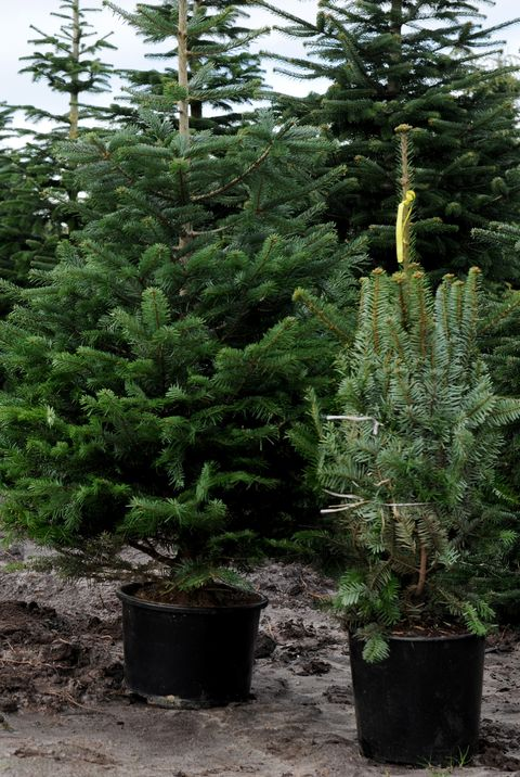 Potted Christmas Tree.How To Care For A Potted Christmas Tree Tips For Living
