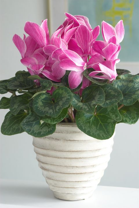 Potted pink cyclamen (Cyclamen)