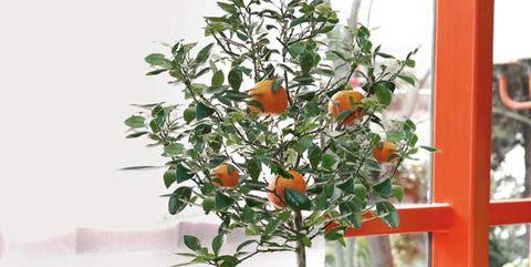 Flowerpot, Plant, Houseplant, Orange, Citrus, Room, Tree, Calamondin, Flower, Shelf,