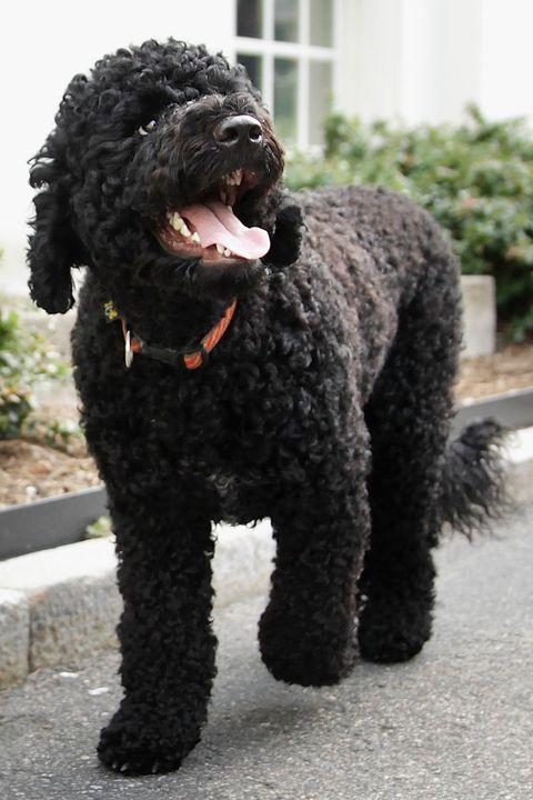 Portugiesischer Wasserhund Obama