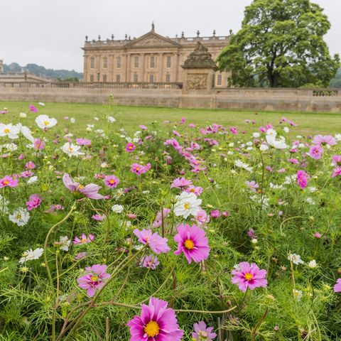 Show Feature – Cosmos mass planting. Show Feature. RHS Chatsworth Flower Show.
