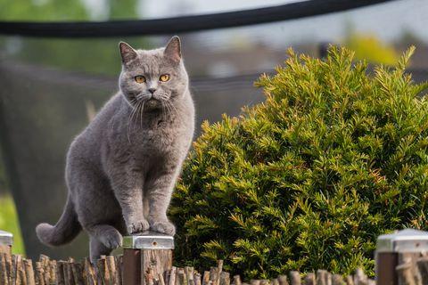 Un joli chat British Shorthair debout sur un poteau de clôture de jardin