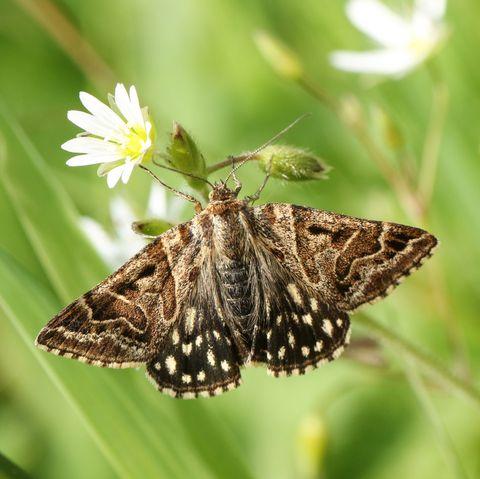 a pretty mother shipton moth euclidia mi perching on a stitchwort wildflower