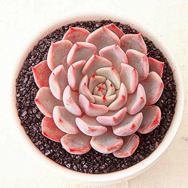 Flower, Echeveria, Plant, Houseplant, Botany, Leaf, Terrestrial plant, Flowerpot, Stonecrop family, white mexican rose,