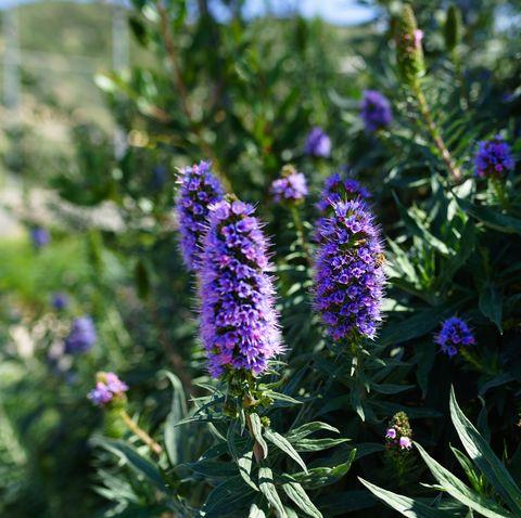Echium candicans, pride of Madeira, purple flowers