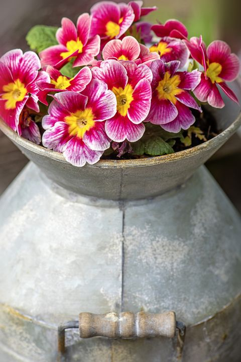 close up image of pretty spring primroses   primula, planted in a french, aluminium milk churn