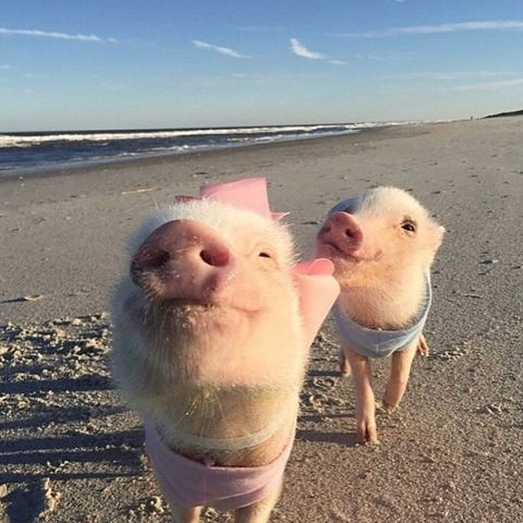prissy the pig - animals to follow on instagram