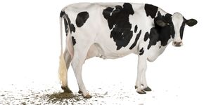 Profile of Holstein cow pooping, 5 years old, standing.