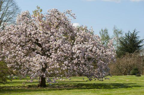 prunus matsumae spring flowering cherry tree blossom