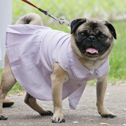 Pug dog wearing a bridesmaid dress