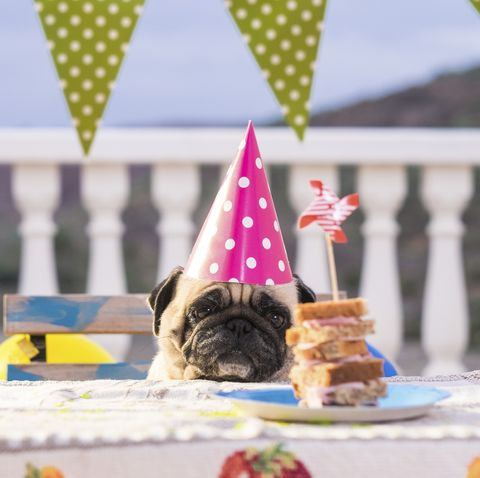 Pug Wearing Party Hat At Table With Sandwich