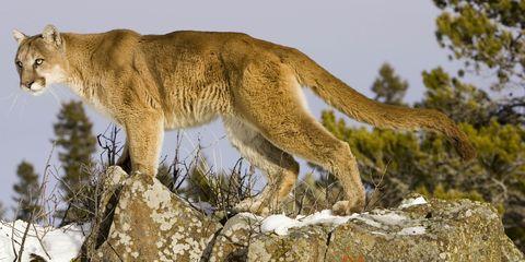 Puma standing on rocky perch North America.
