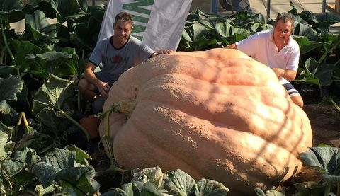 This 174-stone pumpkin is officially the biggest in the UK, weighing the same as a Ford Fiesta
