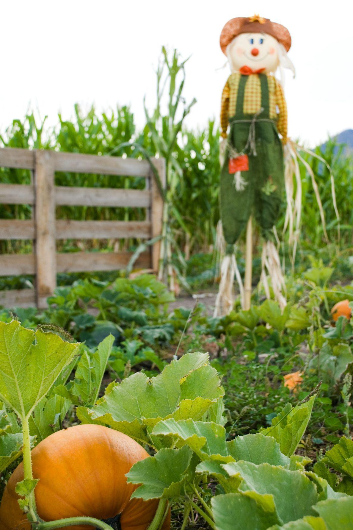 pumpkin patch arizona - pumpkin farms near me