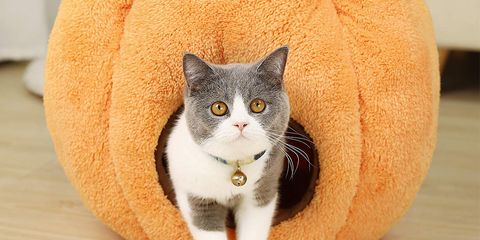 Cat, Mammal, Small to medium-sized cats, Felidae, Whiskers, British shorthair, Domestic short-haired cat, Carnivore, American wirehair, European shorthair,
