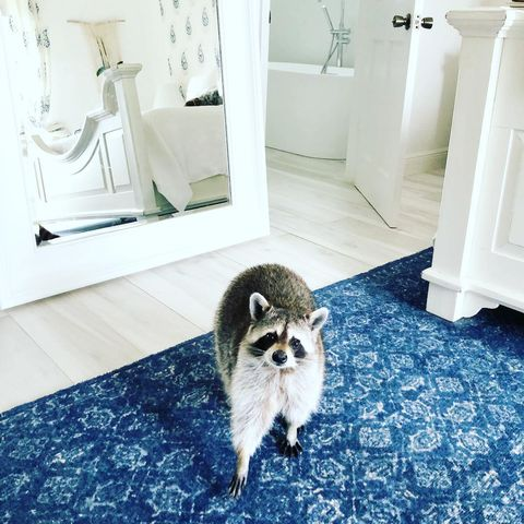 pumpkin the raccoon - animals to follow on instagram