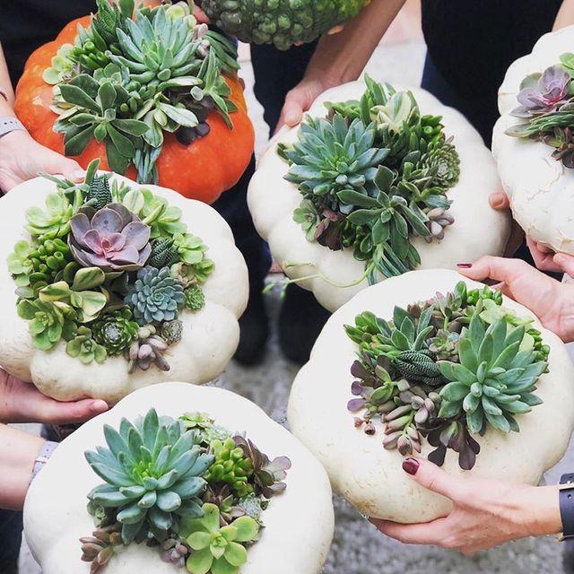 pumpkin succulent plants