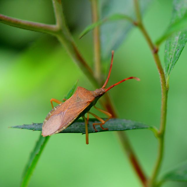 the stink bug insect could invade uk gardens, warns the rhs