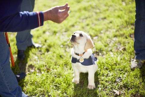 Adorable guide dog puppies go viral after training night at