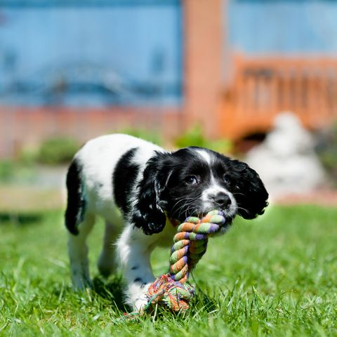 beautiful spaniel puppy carries large rope toy across the lawn enjoying chewing something she is allowed