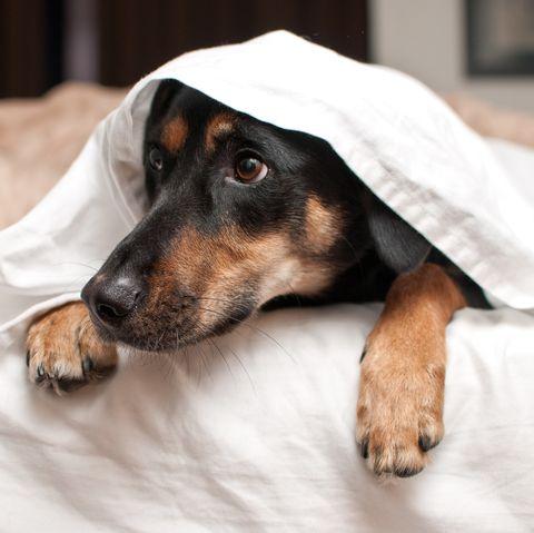 Dog hiding under bed sheets