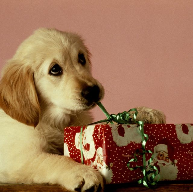 PUPPY OPENING CHRISTMAS GIFT