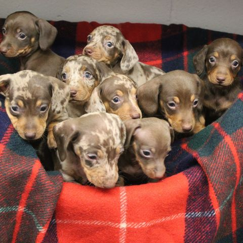 9 Miniature Dachshunds Looking For New Home