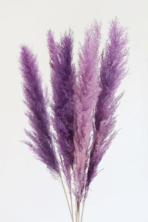 purple pampas grass