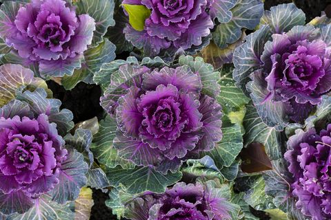 what to plant in november ornamental cabbage