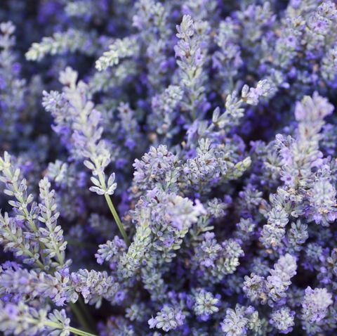 purple lavender flower herb and spice background texture