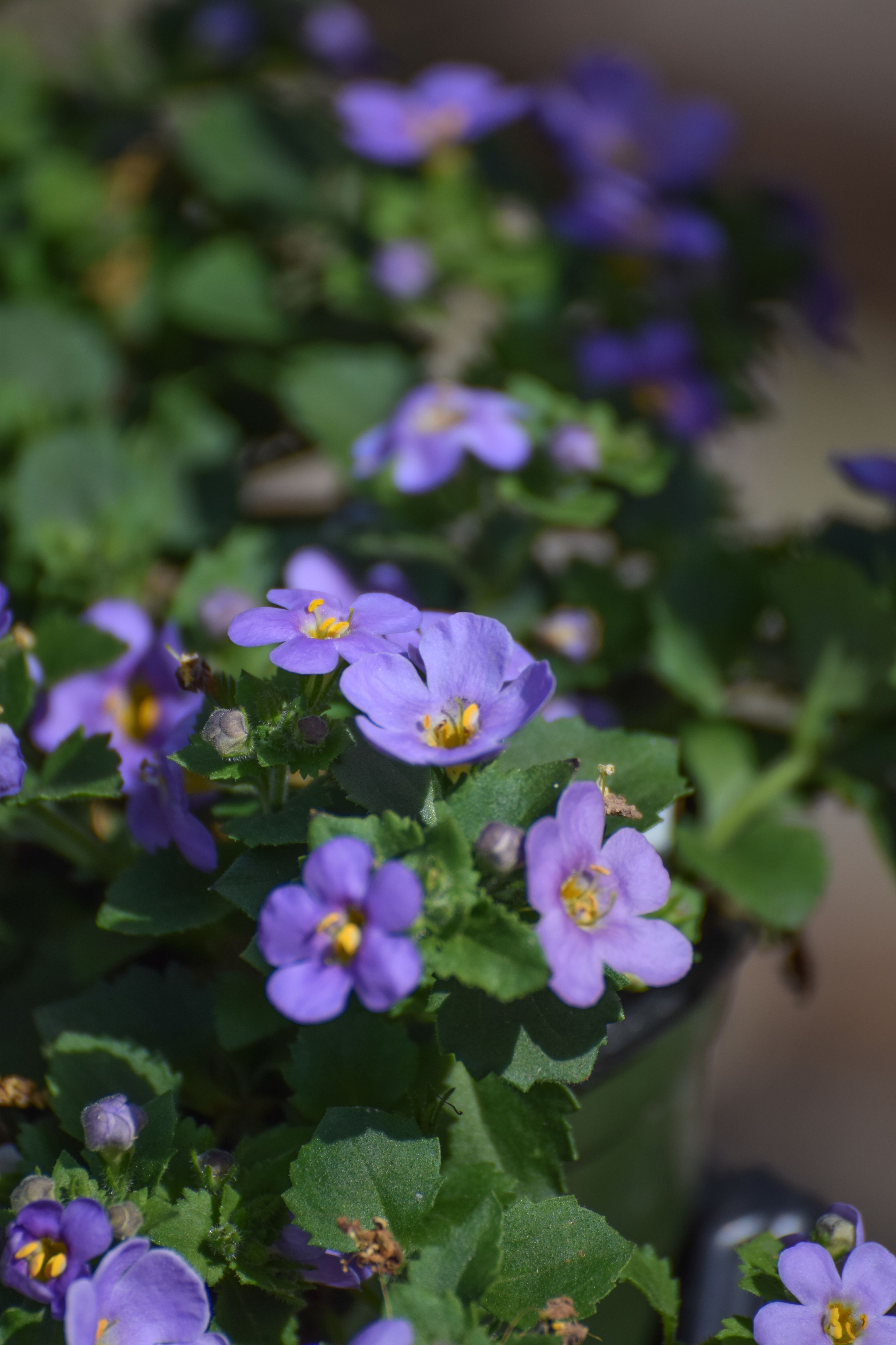 20 Best Annuals For Shade Plants Flowers Low Light