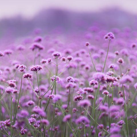 purple colored vervain flowerbed soft focus shot