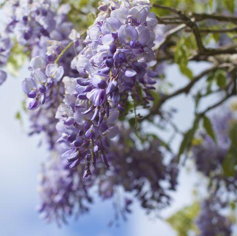 Purple wisteria growing outside