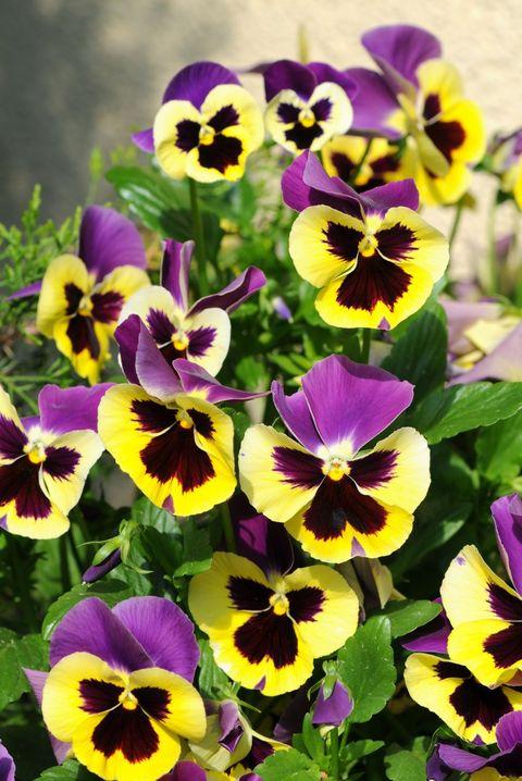 Pensamiento - significados de la flor