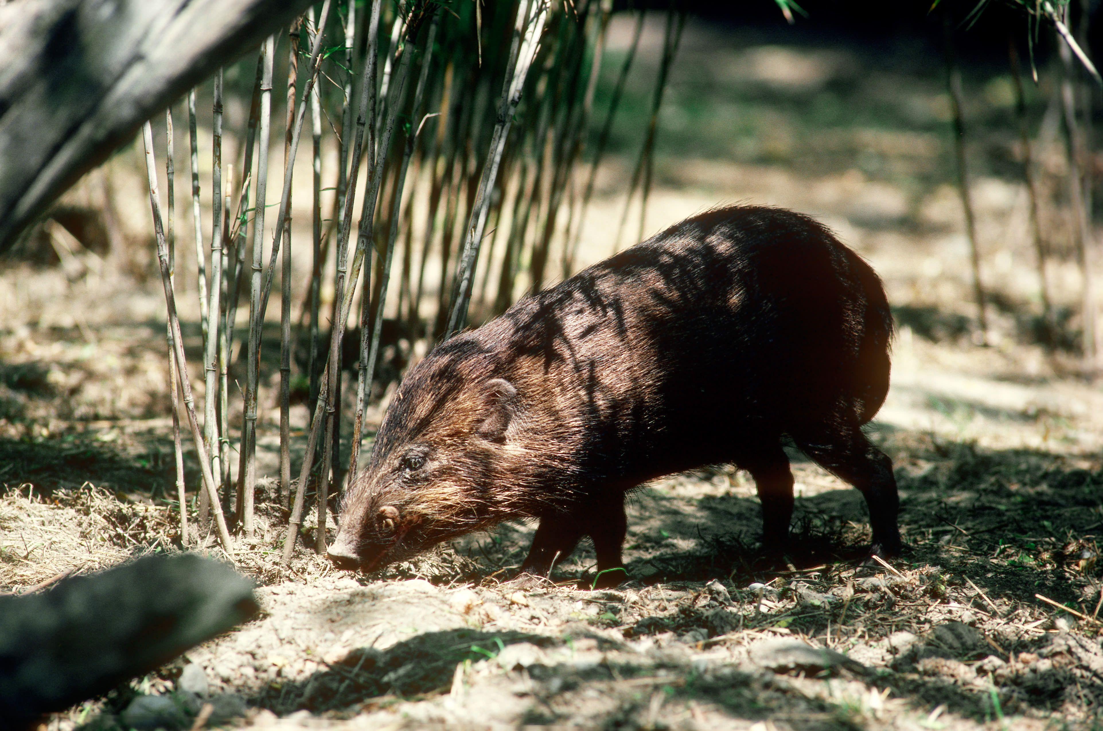 Pygmy Hog (Sus salvanius)