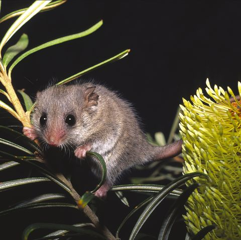 smallest animals on the planet, pygmy possum