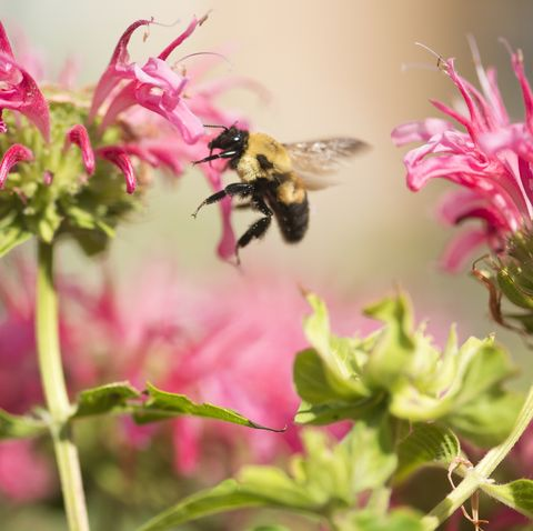 Queen bee flying into a flower