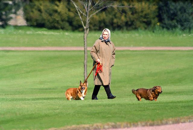 queen elizabeth ii walking her dogs at windsor castle