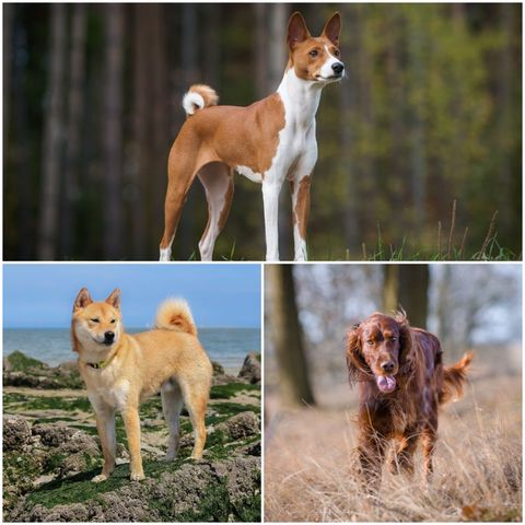 Quiet dog breeds that don't bark as much as others
