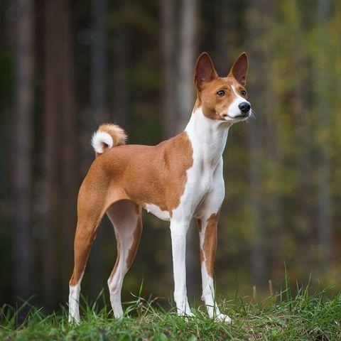 quiet dog breeds - basenji